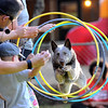 Angelyne, the cattle dog, jumps through hoops held by volunteers and owner, Eric Melvin, during their performance.<br /> Angelyne, the deaf cattle dog, and his owner, Eric Melvin, did a program for the Cottage School in Boulder on Thursday night.<br /> Cliff Grassmick / July 21, 2011