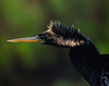 Anhinga Bird in Everglades National Park