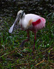 Roseatte Spoonbill at Everglades National Park