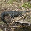 "The obligatory ""Everglades Alligator"" photo"