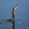 Anhinga (female)<br /> Green Cay wetlands