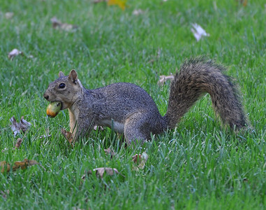 That squirrel looks funny with that acorn in it's mouth! (Caption by grand daughter Audrey)