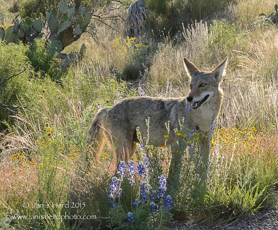 Coyote, Big Bend National Park,Texas