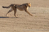 Cheetah running, Animal Ark, Nevada