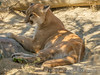 Mountain lion, Animal Ark, Nevada
