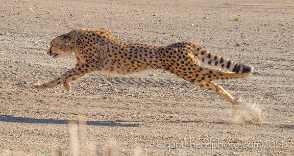Cheetah running, Animal Ark, Nevada