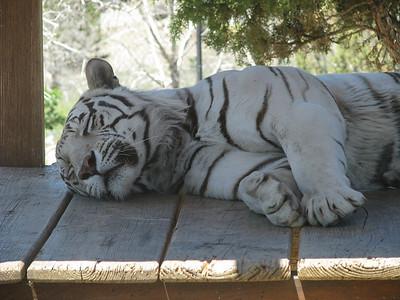Bengal_Tiger_2867