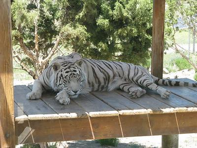 Bengal_Tiger_2863