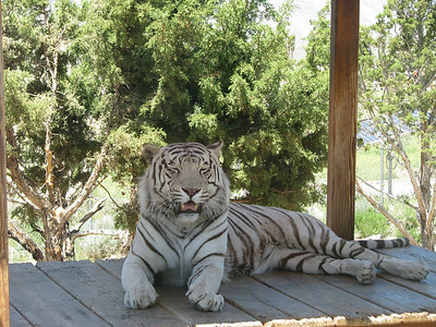 Bengal_Tiger_2872