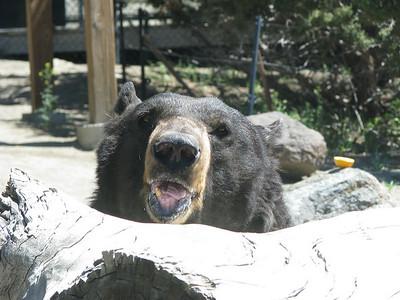 Black_Bear_Yogi_2699
