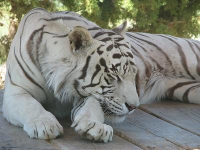 Bengal_Tiger_2878