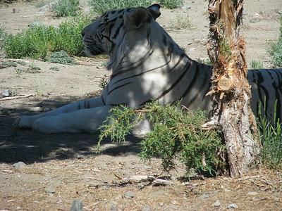 Bengal_Tiger_2639