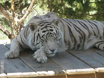 Bengal_Tiger_2864