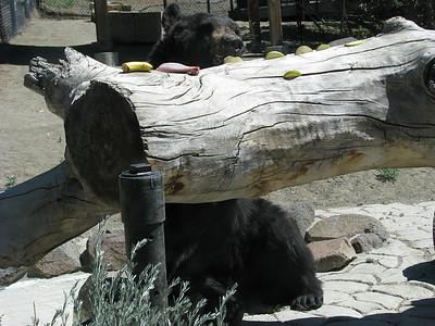 Black_Bear_Yogi_2692