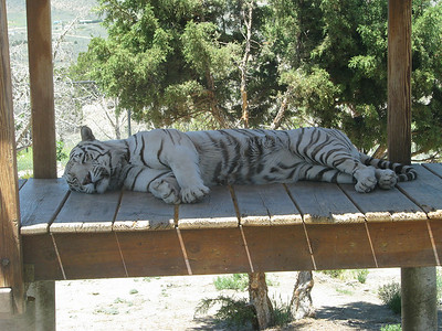 Bengal_Tiger_2866