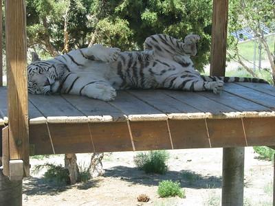 Bengal_Tiger_2865
