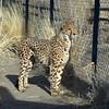Animal Ark visit January 13, 2018 - Cheetah