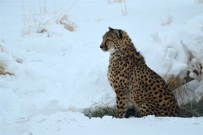 January 14, 2017 - This Cheeta doesn't like the snow.