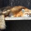 Animal Ark visit January 13, 2018 - Red Fox