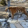Animal Ark visit January 13, 2018 - Lily the Tiger