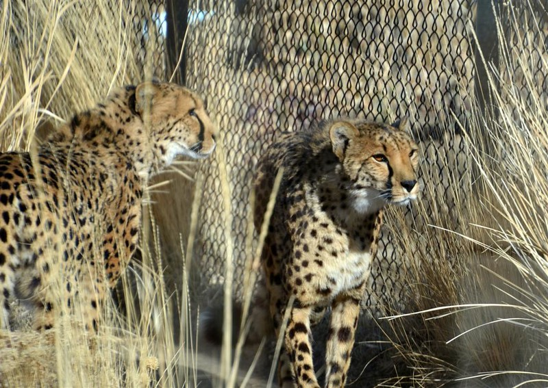 Animal Ark visit January 13, 2018 - Both Cheetahs - they are brothers