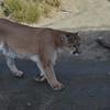 Animal Ark visit January 13, 2018 - Daniel the Mountain Lion