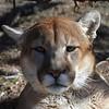 Animal Ark visit January 13, 2018 - Mountain Lion Stares
