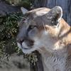 Animal Ark visit January 13, 2018 - Mountain Lion