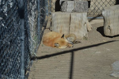 February 17, 2018 - A rather warm sleepy day.  A sleepy fox.