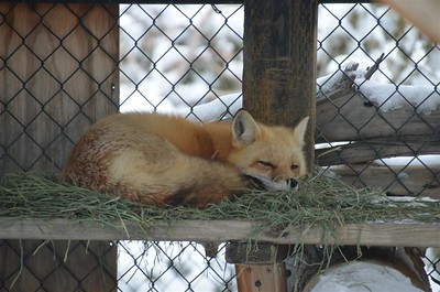 January 14, 2017 - Red Fox