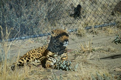 February 17, 2018 - A rather warm sleepy day for the Jaguar.