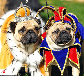 Royal Pugs.