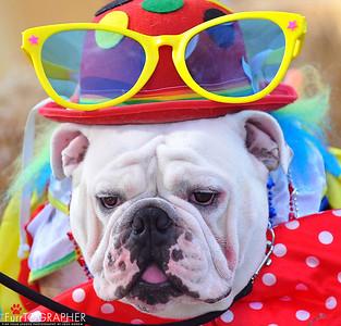Circus bulldog.