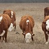 Vince Kinkead's Herefords