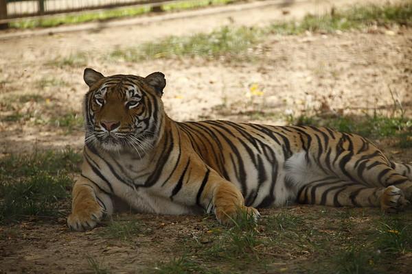 Resting Tiger