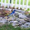 Blue Jay from our backyard