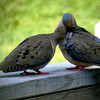 From our porch (Lee's Summit), 8 June 2014<br /> - I was heading out when Jonathan pointed these birds to me.
