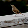 Perched on our porch (Timberbrooke)<br /> June 2014