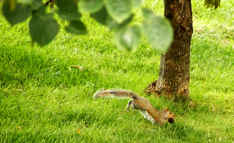 14 July 2014<br /> Jonathan showed me this squirrel and I caught it in its jumping mode:-)