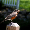 What a big lunch for this robin - 18 June 2014