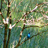 Gorgeous bright blue bird today in our backyard -12 June 2014