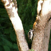 14 July 2014<br /> Afternoon walk around the subdivision.<br /> This downing woodpecker perched on the tree of Don & Anne.