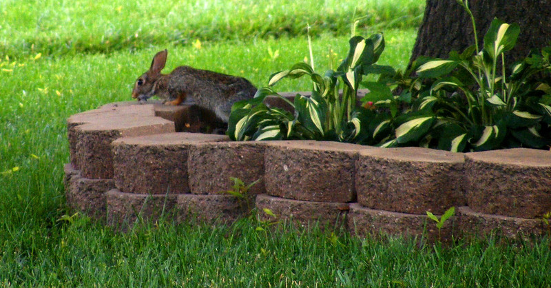 I saw this small bunny crossing the street to the front yard of Janet and Mike - 20 June 214