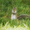 Baby squirrel has been busy for almost an hour eating (brunch?!) in front of our yard (21 June 2014)