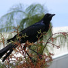 Grackle bird (Kennedy Space Center; while we're having lunch at one cafe in the Center)<br /> 30 May 2014