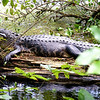 Alligator (Lettuce Lake Park-Hillborough River)<br /> 1 June 2014