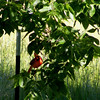 A male cardinal seemingly checking on me?!