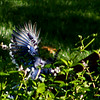 11 Aug<br /> Saw this blue jay perched on Teddy's lawn (from our bedroom)
