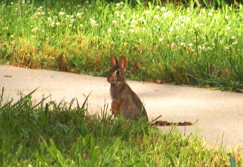 A cute, small bunny!<br /> On our walk around our subdivision - 23 June 2014