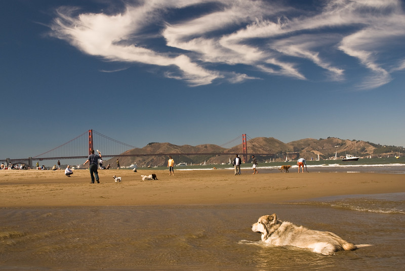 Let the others play – this husky is just cooling off at Crissy Field in San Francisco.